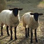 Vaccinated Sheep