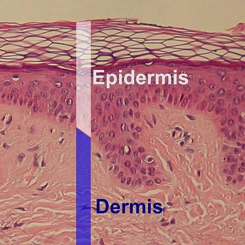 The Skin Law of DermoDynamics
