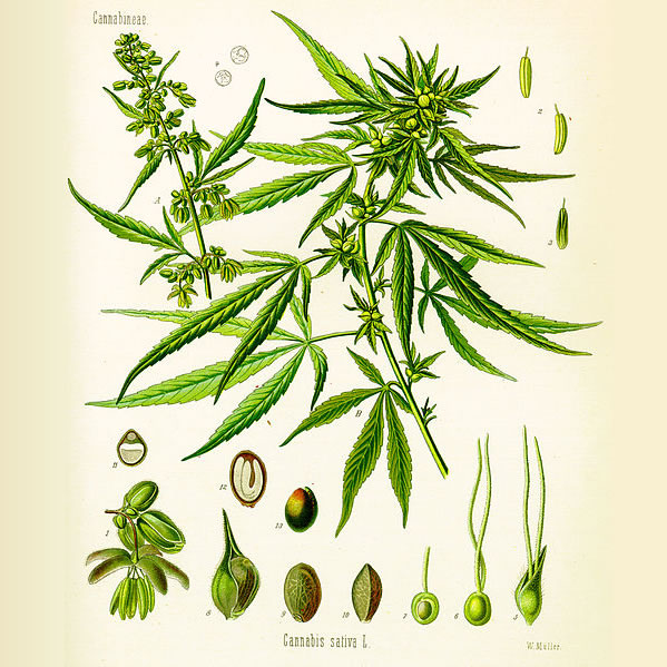 Active Medicinal Plant Compounds in Marijuana